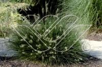 Pennisetum alopecuroides Little Bunny C2