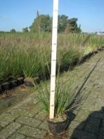 Pennisetum alopecuroides Hameln C1.5