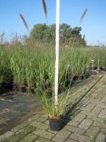 Pennisetum alopecuroides  C1.5