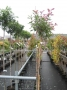 Photinia fras. Red Robin stam 160 C5
