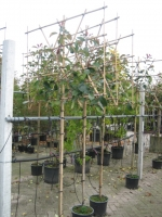 Photinia fras. Red Robin LEI 6/8 Stam 150  C15