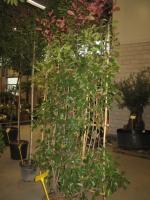 Photinia fras. Red Robin SCHERMVORM 180 C60