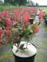 Photinia fraseri Little Red Robin C3 30/40