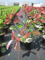 Photinia fraseri Red Robin C3 50/60