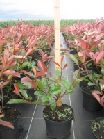 Photinia fraseri Red Robin C2 40/+