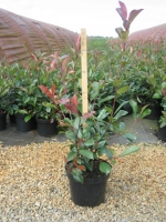 Photinia fraseri Red Robin C5  80/100