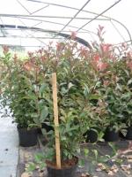 Photinia fraseri Red Robin 80/100 kluit