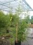 Phyllostachys Aurea 100/150 C12