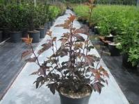 Physocarpus diable d'or C7.5 50/+