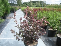 Physocarpus op. Lady in RED 50/+ C10