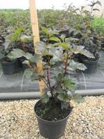 Physocarpus op. Diabolo C3 40/+