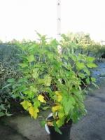 Physocarpus op. Dart's Gold C3 50/+
