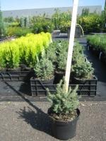 Picea glauca Echiniformi s C3 15/20
