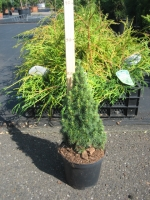 Picea glauca Zuckerhut C1.5 20/25