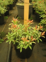 Pieris jap. Little heat 20/+ C1.5