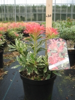 Pieris jap. Flaming Silver  25/+ C3