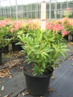 Pieris jap. Forest Flame  25/+ C3