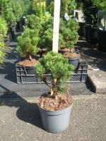 Pinus mugho Limerick C3 20/25