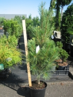 Pinus strobus Stowe Pillar C4 70/80