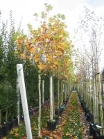 Platanus Acerifolia 12/14   C45