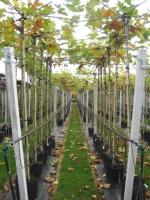Platanus acerifolia DAK 10/12 C35