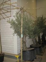 Platanus acerifolia DAKVORM 10/12 C30