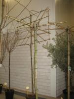 Platanus acerifolia DAK 12/14 C35