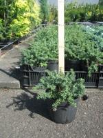 Podocarpus law. Blue Gem C1.5 10/15