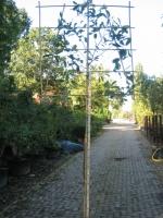Prunus Caucasica LEIVORM C15