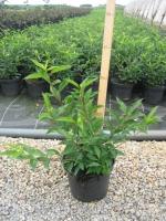 Prunus Lus. Angustifolia C2 30/+