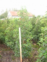 Prunus Lus. Angustifolia 100/120 kluit