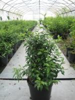 Prunus Lus. Angustifolia 80/100 C10
