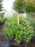 Prunus Lus. Angustifolia BOL 60/+