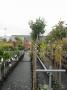 Prunus Lus. Angustifolia stam 160 cm C5