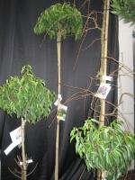 Prunus Lus. Angustifolia STAM 180 C22