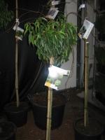 Prunus Lus. Angustifolia STAM 80 C15