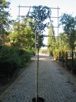 Prunus Lusitanica LEIVORM C15
