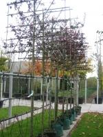 Prunus cerasifera Nigra LEI 10/12 C35