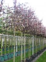 Prunus cerasifera Nigra LEI 12/14 C35