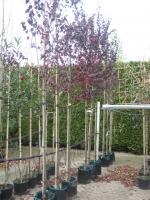 Prunus cerasifera Nigra 10/12 C30