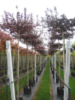 Prunus cerasifera Nigra DAK 12/14 C45