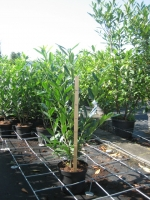 Prunus laur. Caucasica 80/100 C7.5