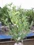 Prunus laur. Caucasica 60/80 KLUIT