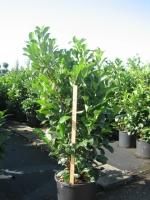 Prunus laur. Etna 100/125 C20