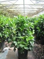 Prunus laur. Etna 100/125 kluit