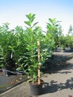 Prunus laur. Novita 80/100 C7.5