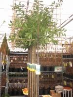 Prunus laur. Novita LEIBOOM C18