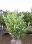 Prunus laur. Otto Luycken 60/70 kluit