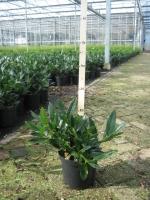 Prunus laur. Otto Luycken 30/+ C3