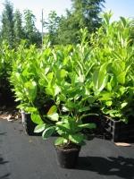 Prunus laur. Rotundifolia 50/60 C1.5